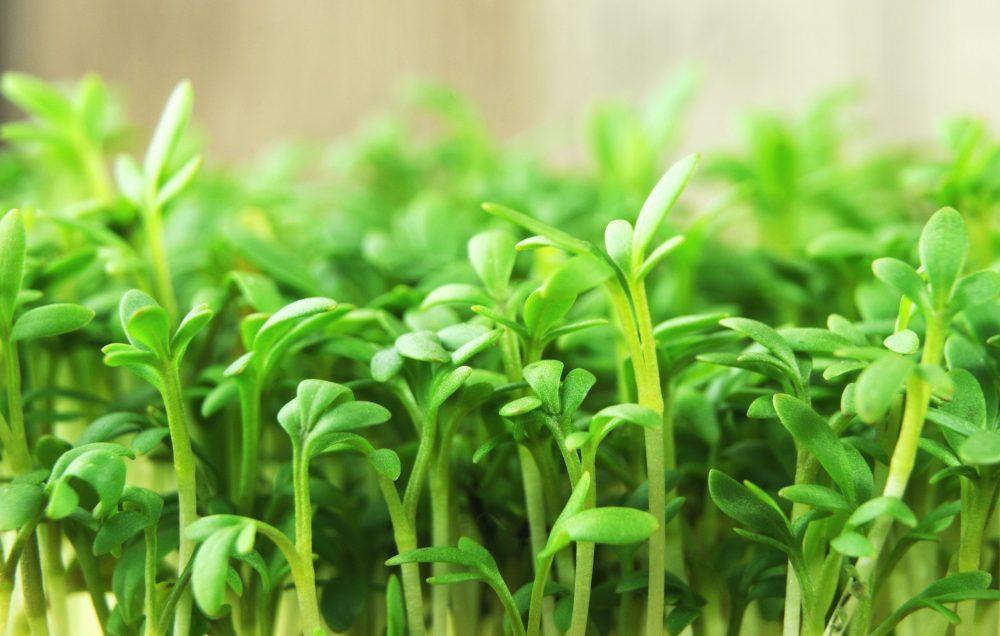 Keimlinge, Sprossen und Microgreens