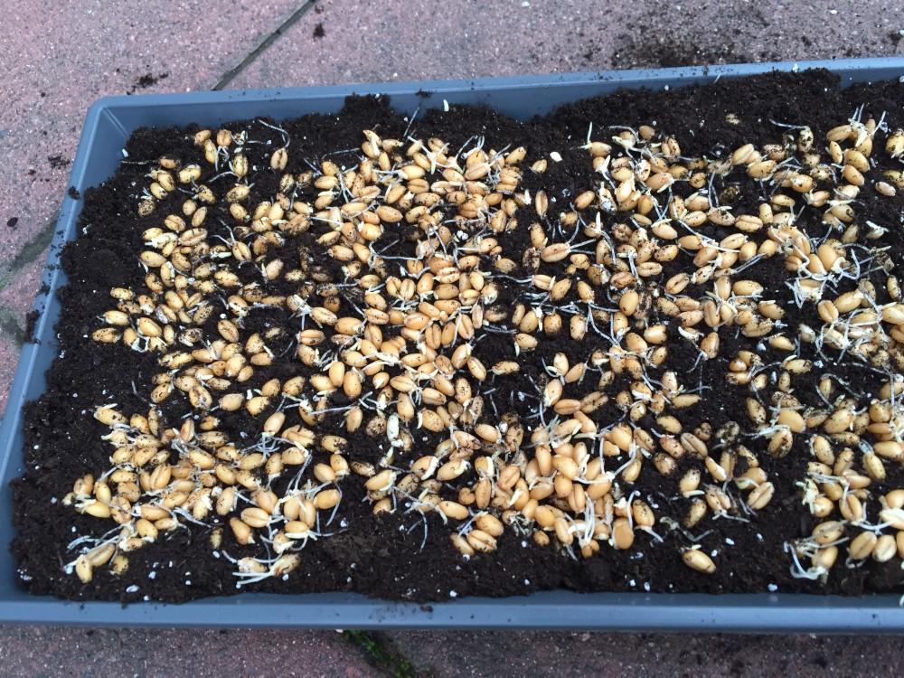Gekeimte Samen in Erde