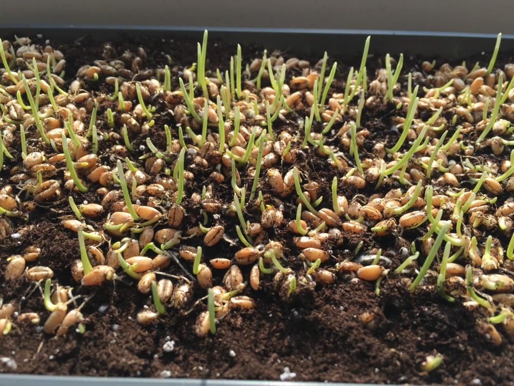 Gekeimte Weizengräser
